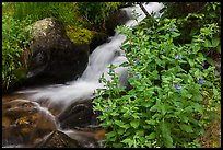 Wildflowers and cascading stream. Rocky Mountain National Park ( color)
