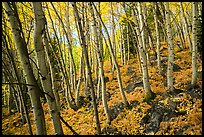 Forest in autumn, Glacier Basin. Rocky Mountain National Park ( color)