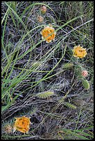 Prairie grasses and blooming prickly pear cactus. Theodore Roosevelt National Park, North Dakota, USA. (color)