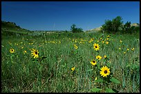 Sunflowers in prairie. Theodore Roosevelt National Park, North Dakota, USA. (color)