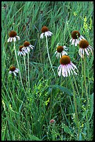 Prairie flowers and grasses. Theodore Roosevelt National Park ( color)