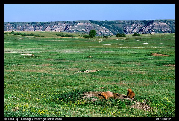Prairie Dog town, South Unit. Theodore Roosevelt National Park, North Dakota, USA.