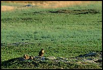 Prairie Dogs look out cautiously, South Unit. Theodore Roosevelt National Park, North Dakota, USA.