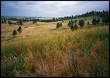 Grasses and rolling hills with pine trees. Wind Cave National Park, South Dakota, USA.