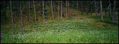 Forest edge in summer. Wind Cave  National Park (Panoramic color)