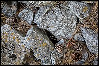 Limestone rock and ponderosa pine cones. Wind Cave National Park ( color)