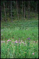 Flowers on meadow and hill covered with pine forest. Wind Cave National Park ( color)