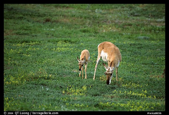 Pronghorn Antelope cow and calf. Wind Cave National Park, South Dakota, USA.
