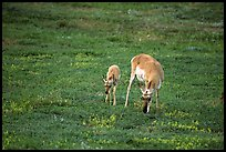 Pronghorn Antelope cow and calf. Wind Cave National Park ( color)