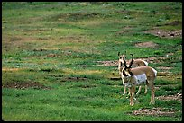 Pronghorn Antelope bull and cow. Wind Cave National Park ( color)