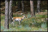 Pronghorn Antelope in pine forest. Wind Cave National Park ( color)