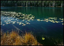 Water lilies and pond. Yellowstone National Park, Wyoming, USA. (color)