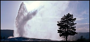 Old Faithful geyser and tree. Yellowstone National Park (Panoramic color)