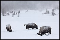 Snow-covered bison in winter. Yellowstone National Park ( color)