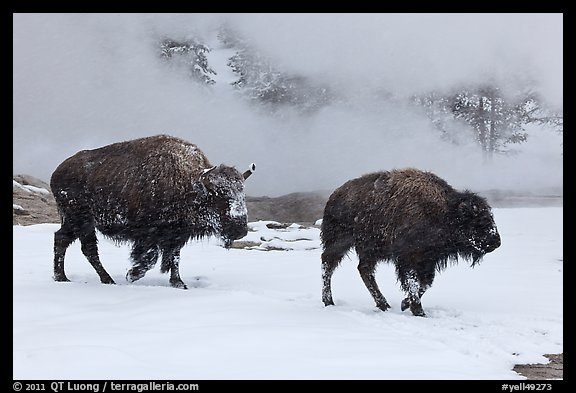 Two American bisons in winter. Yellowstone National Park, Wyoming, USA.