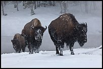 Bisons with snowy faces. Yellowstone National Park ( color)
