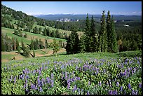 Lupines at Dunraven Pass, Grand Canyon of the Yellowstone in the background. Yellowstone National Park, Wyoming, USA. (color)
