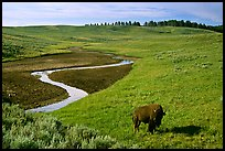 Bison and creek, Hayden Valley. Yellowstone National Park, Wyoming, USA.