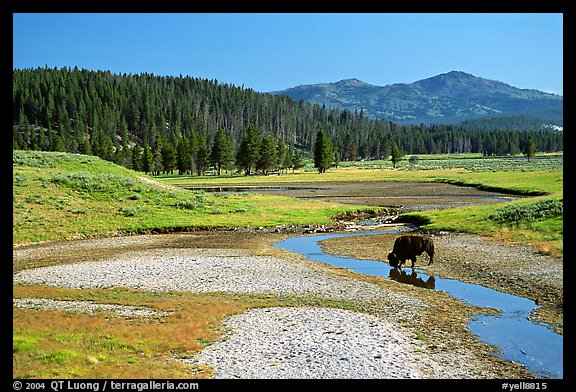 Buffalo in creek, Hayden Valley. Yellowstone National Park, Wyoming, USA.