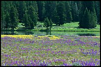 Purple flowers and pine trees. Yellowstone National Park ( color)
