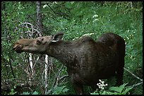 Cow moose reaching for plant. Yellowstone National Park, Wyoming, USA. (color)
