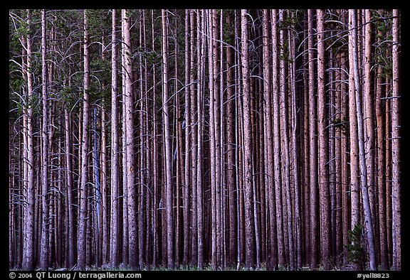 Densely clustered lodgepine tree trunks, dusk. Yellowstone National Park, Wyoming, USA.