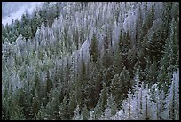 Frosted trees. Yellowstone National Park, Wyoming, USA. (color)