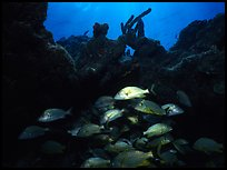 Smallmouth grunts under overhanging rock. Biscayne National Park, Florida, USA. (color)