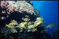 Yellow snappers under an overhang. Biscayne National Park, Florida, USA. (color)