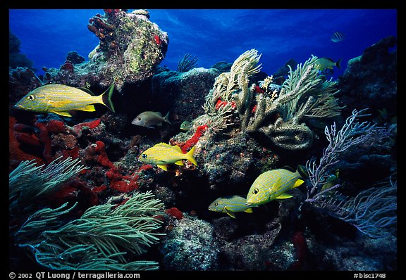 Yellow snappers and soft coral. Biscayne National Park, Florida, USA.