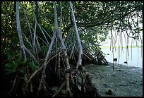 Mangroves on the shore at Convoy Point. Biscayne National Park, Florida, USA.