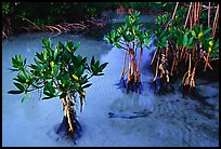 Small mangrove shrubs, Elliott Key. Biscayne National Park, Florida, USA.