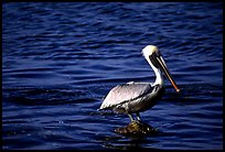 Pelican. Biscayne National Park, Florida, USA. (color)