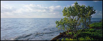 Tree on Atlantic Ocean shore. Biscayne National Park (Panoramic color)