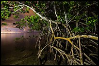 Mangrove tree branches at night, Convoy Point. Biscayne National Park ( color)