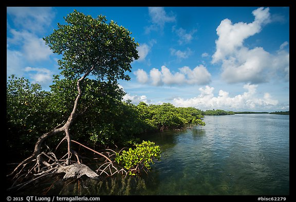 Tall mangrove tree and channel, Swan Key. Biscayne National Park (color)