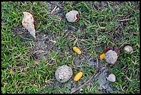 Hermit crabs and palm tree nuts. Dry Tortugas National Park, Florida, USA. (color)