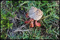 Hermit crab, Garden Key. Dry Tortugas National Park, Florida, USA. (color)