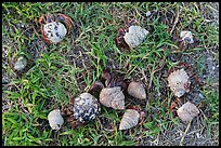 Cluster of hermit crabs on grassy area, Garden Key. Dry Tortugas National Park, Florida, USA. (color)