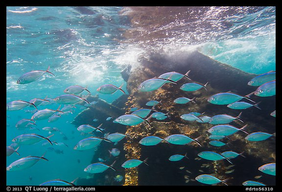 School of tropical fish and Windjammer wreck. Dry Tortugas National Park, Florida, USA.