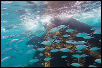 School of tropical fish and Windjammer wreck. Dry Tortugas National Park, Florida, USA. (color)