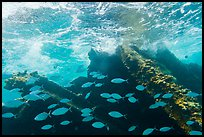 School of Bermuda Chubs, Avanti wreck, and surge. Dry Tortugas National Park ( color)