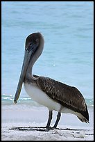 Pelican, Garden Key. Dry Tortugas National Park, Florida, USA. (color)