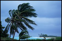 Palm trees windblown on a stormy day. Dry Tortugas National Park, Florida, USA.