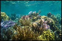 Variety of colorful corals, Little Africa reef. Dry Tortugas National Park, Florida, USA. (color)
