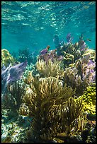 Dense colorful corals, Little Africa reef. Dry Tortugas National Park ( color)