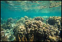 Coral reef, Little Africa, Loggerhead Key. Dry Tortugas National Park ( color)