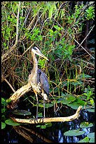 Great Blue Heron. Everglades National Park ( color)
