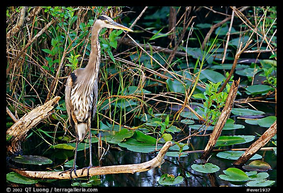 Great Blue Heron. Everglades National Park, Florida, USA.