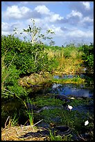 Egrets, alligators, ahinga, from the Ahinga trail. Everglades National Park ( color)